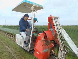 い草の刈り取り時の写真