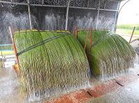 い草を洗っている所 シャワー